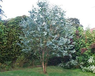 Eucalyptus cinerea, commonly known as the Argyle Apple, Mealy Stringbark, Silver-leaf Stringybark or Silver Dollar Tree, is a small to medium-sized tree with ro...