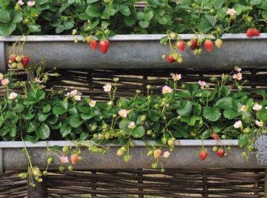 17 meilleures id es propos de goutti re sur pinterest - Planter des fraises en jardiniere ...