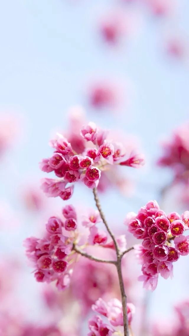 Pink flowers iPhone 5s Wallpaper Download | iPhone Wallpapers, iPad wallpapers One-stop Download