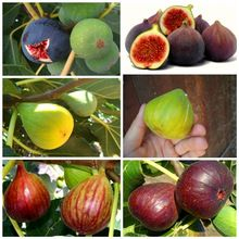 6 pcs Fig Seeds, tree fruit bonasi tree for DIY Home Garden Plant Chinese Edible Fruit Seeds W089(China (Mainland))