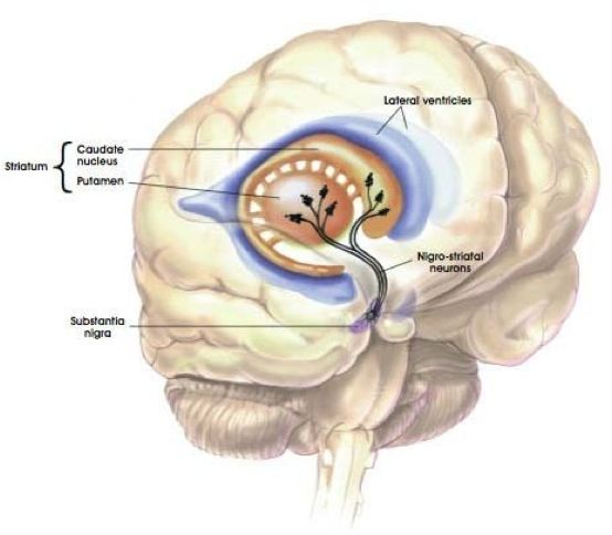 basal ganglia substantia nigra dopamine movement corticobasal degeneration CBD dementia