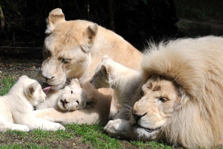 Trois lionceaux de 13 semaines jouent près de leurs parents, Yabu,et Nikita, au zoo de La Flèche (ouest de la France)