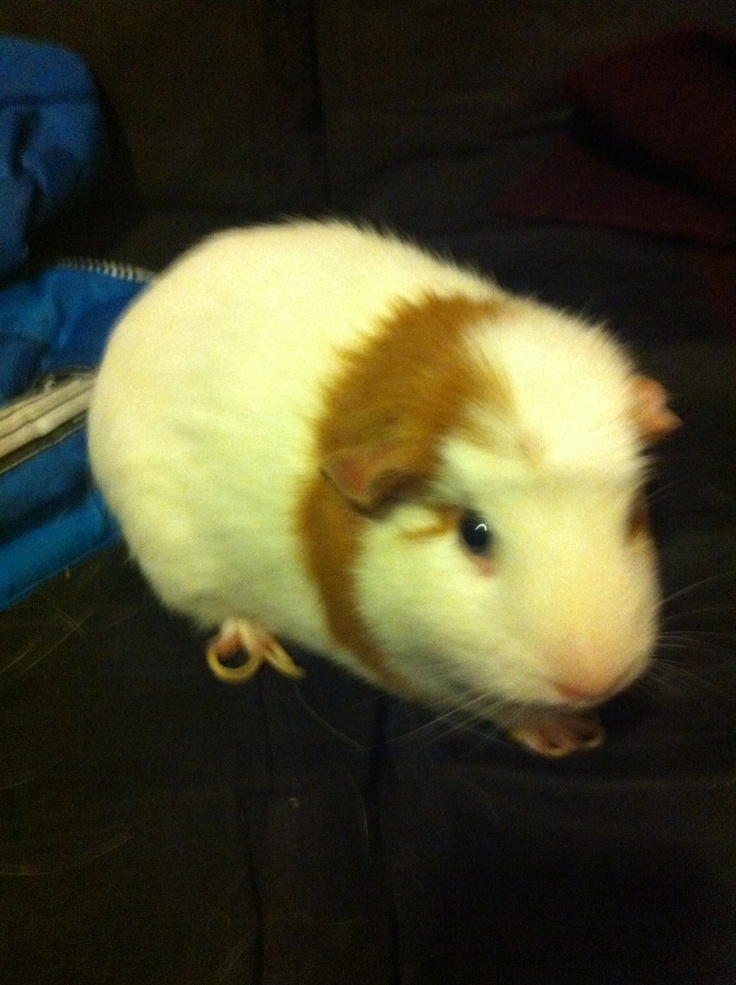 My guinnie pig cutie