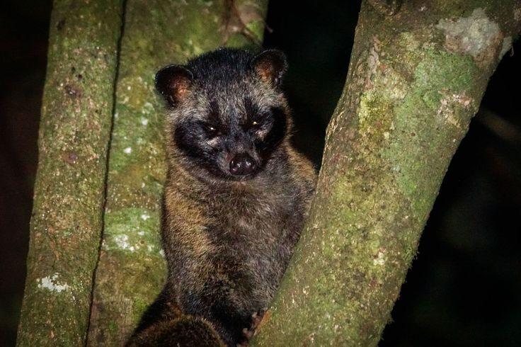 https://flic.kr/p/zTrK1N | Asian palm civet | Asian palm civet
