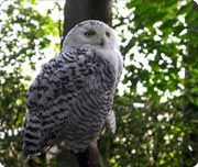 The Snowy Owl is listed by CITES as threatened. Being a species native to our delicate Arctic ecosystem, the Snowy Owl is very vulnerable to any damage to its habitat. Once damaged the Arctic is a very slow habitat to recover.