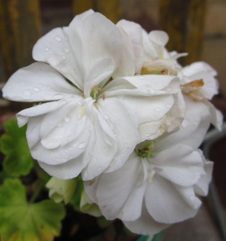 Пеларгонии так похожи на герани, что долгое время их тоже называли этим именем. Но у герани симметричное строение цветка, лепестки бывают всех оттенков, за исключением алого. Она родом из Европы, где зимует на открытом воздухе.  У пеларгонии же цветы неправильной формы, а окраска лепестков может быть любого оттенка, за исключением синего. Родом она из Южной Африки, поэтому при первых же заморозках гибнет.