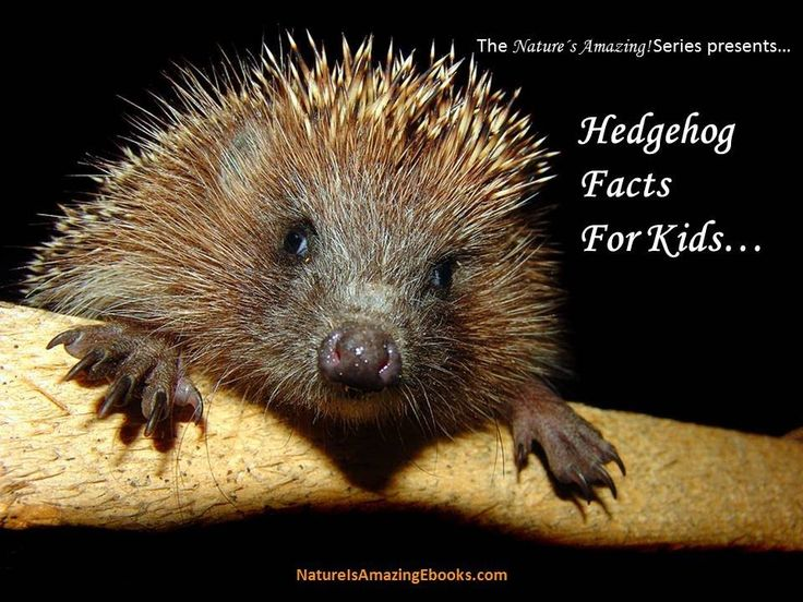 Hedgehogs - 10 Fun Facts About Me - as part of the series on pets and animals by GeoBeats. Description from owls.us. I searched for this on bing.com/images