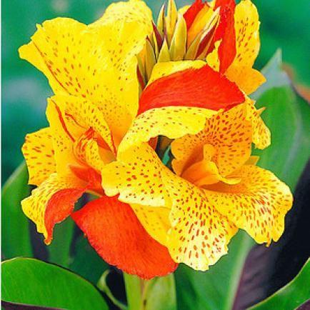 """Canna """"Cleopatra"""",3 Knollen Canna indica Indisches Blumenrohr"""