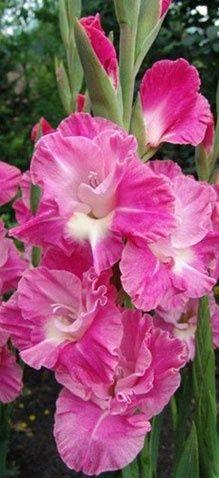 Pink Parrot Gladiolu