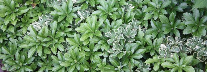Weißblühendes Immergrün 'Alba' - Vinca minor 'Alba' - Weißblühender, immergrüner Bodendecker, winterhart - Native-Plants