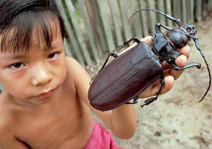 """Besouro Titã (Titanus giganteus) - Esse é o maior de todos os besouros conhecidos pela entomologia, figurando entre as maiores espécies de insetos do mundo. Os adultos chegam a 20 cm de comprimento, isso sem contar o tamanho das enormes antenas. Suas mandíbulas, utilizadas para cortar galhos de árvores, são fortes o suficiente para quebrarem um lápis de madeira. Por esse motivo, também são conhecidos como """"serra-paus"""""""