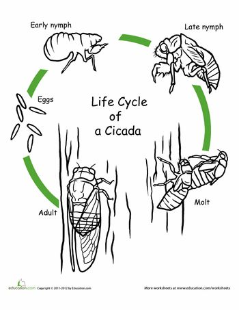 Worksheets: Color the Life Cycle: Cicada