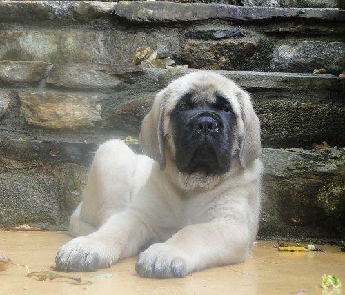 Brody 8 week old English Mastiff puppy.