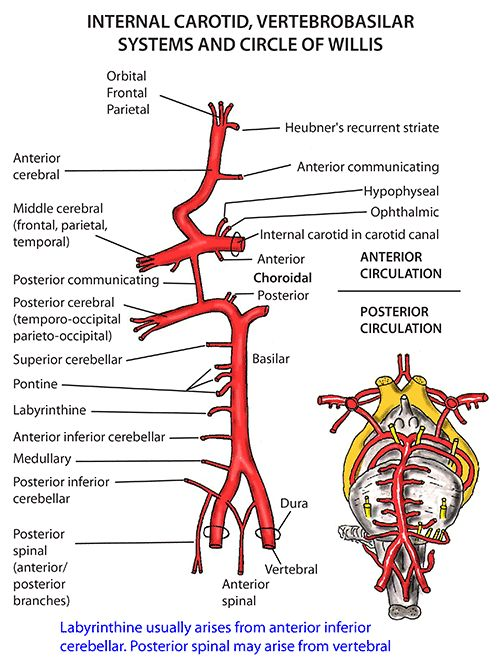 Instant Anatomy - Head and Neck - Vessels - Arteries - Circle of Willis