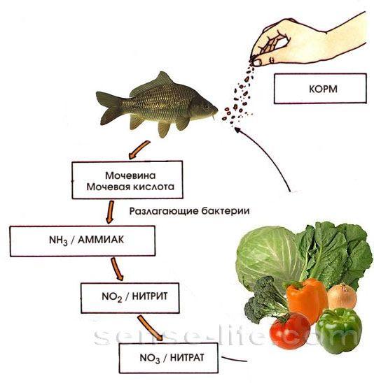 азотный цикл жизнедеятельности рыб
