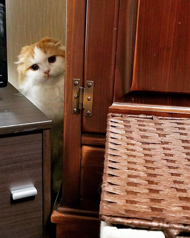 家が騒がしい… #避難  でも気になる|ωΦ*)ฅ #覗き見  #猫との暮らし #愛猫 福♂  #師走 #年末 #大掃除  #catstagram #cat_of_instagram #catstagram_japan #pecon #picneko #みんねこ #petio #ペピ友 #スコティッシュフォールド #すこてぃっしゅふぉーるど #scottishfold #折れ耳 #ふわもこ部 #ペコねこ部 #スタペグラム #anan動物 #フェリシモ猫部 #ペトこと猫部 #ウェブキャットショー #ウェブキャットショー2 #petpark_winter #ペコペットカメラ #ふわもこもちもち