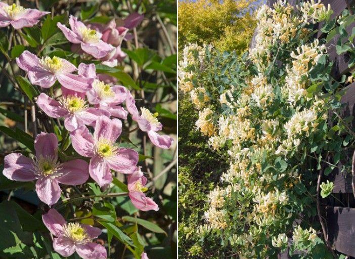 Des Plantes Grimpantes Adaptees Au Climat Montagnard Plante