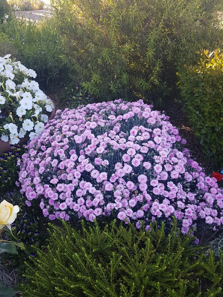 Beautiful Dianthus.