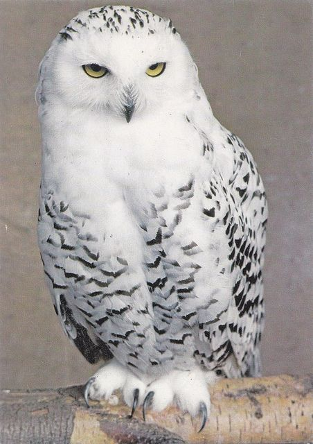 Want an snow owl as a pet