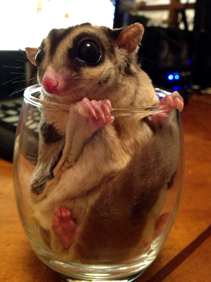 Sugar Glider as a Pet: Answers for All of Your Questions!