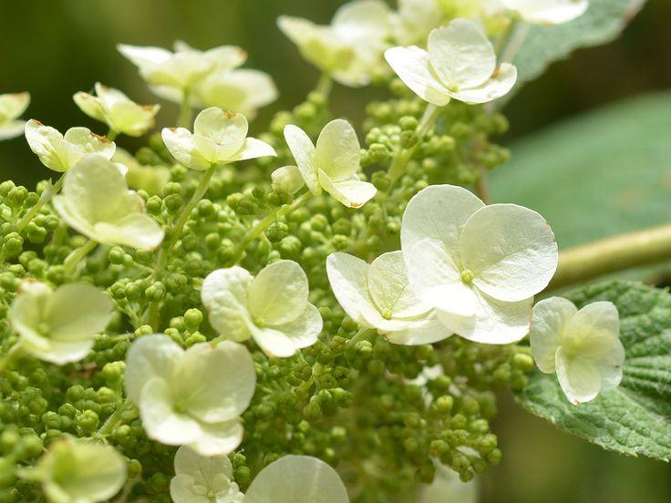 "Hydrangea Quercifolia ""Snowflake"" - Meredith Nursery"