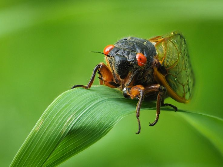 Close-up of a 17-year cicada (Brood V) at O'Neil Woods Metro Park (photo by volunteer Rob Vaughn) #insects #macro
