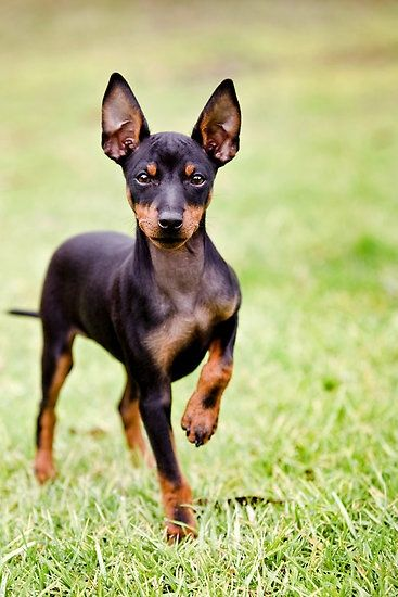 Toy Manchester Terrier ready to play outside! So cute.