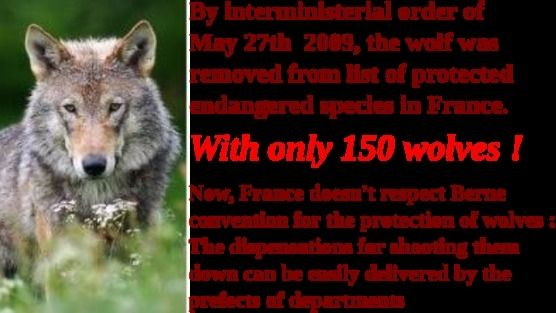 France doesn't respect Berne convention for the protection of wolves