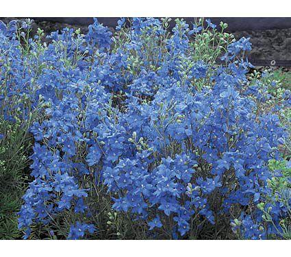 """Blue mirror delphinium: full sun reaches 36"""" high"""