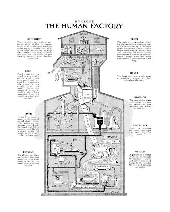 the human factory free shipping 8x10 print body. Black Bedroom Furniture Sets. Home Design Ideas