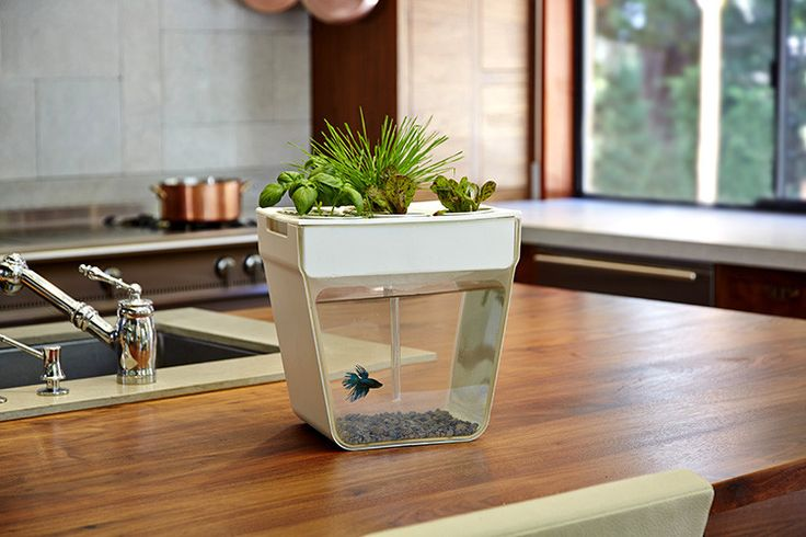 The AquaFarm is a miniature aquaponics factory for your kitchen. It grows small batches of wheatgrass, basil and lettuce atop a fishbowl:
