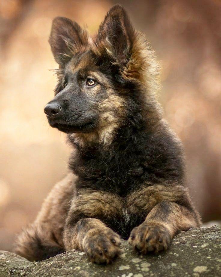 Pin Auf Schaferhund Pup