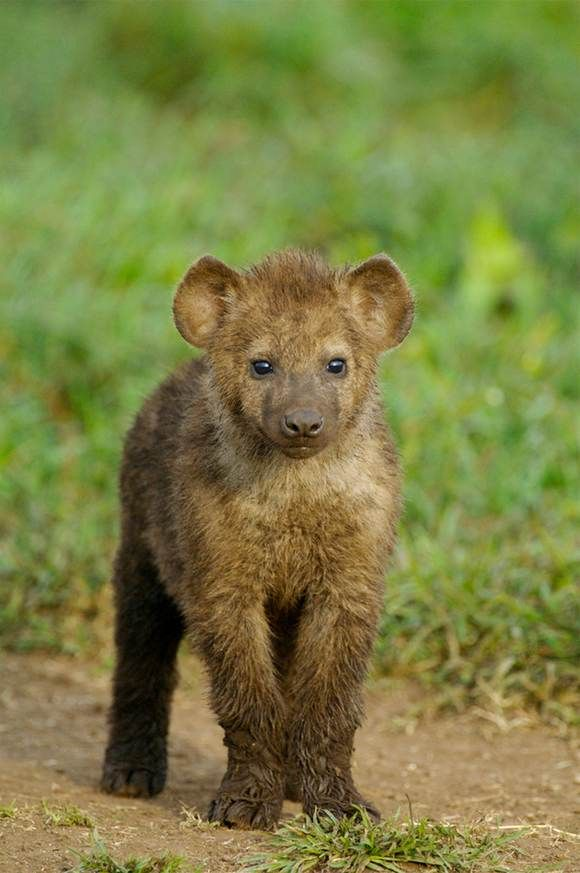9 Baby Animals You'll Find On An African Safari | Hyena ...
