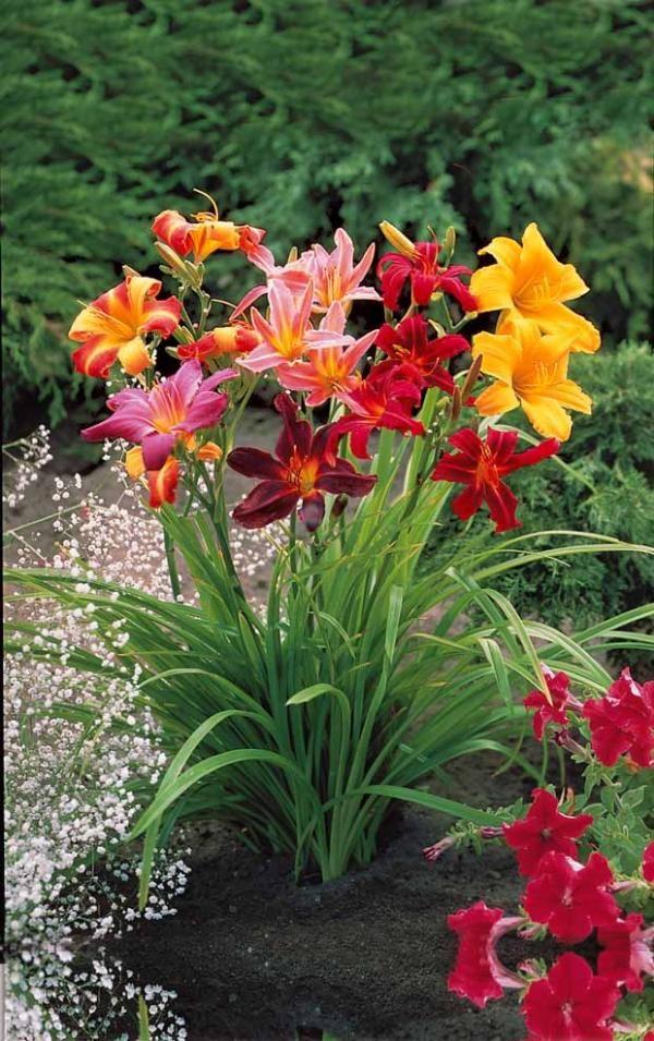 """5 """"Lis perpétuels"""" en mélange Réputés à toute épreuve, ils renouvellent sans compter leurs superbes fleurs de lis. Culture très facile en massif ou en bordure, où ils formeront rapidement de belles touffes bien fleuries. Ils s'adaptent à tout type de sol et reviennent chaque année avec plus de vigueur PÉRIODE DE PLANTATION : de février à mai et de septembre à décembre. PÉRIODE DE FLORAISON : de juin à septembre"""
