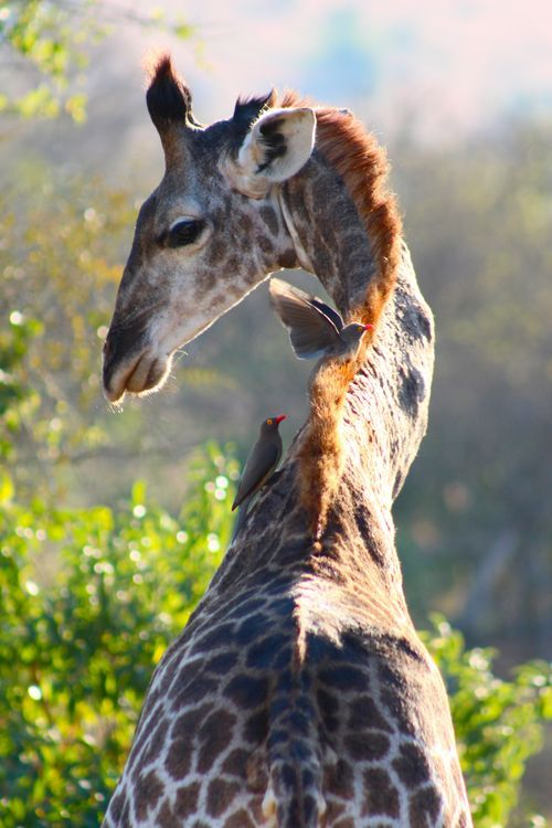 A young giraffe eyes the oxpeckers feeding on his back  Sensing the giraffes annoyance, one oxpecker flees the scene before being nosed. The other wasn't so lucky...