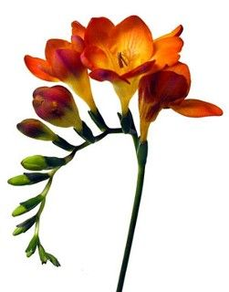 Wedding Flowers | Freesia Orange