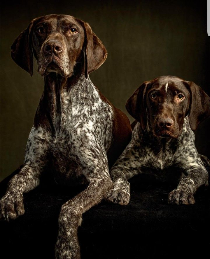 German Shorthaired Pointers German Shorthaired Pointer Dog German Shorthaired Pointer Dog Breeds