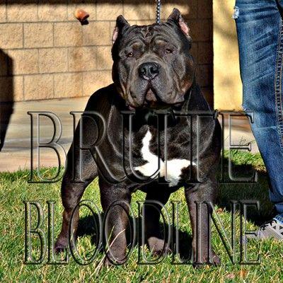 Brute Bloodline XL Extreme Ghost tri bully pitbull bredder/ WWW.BRUTEDYNASTYKENNEL.COM
