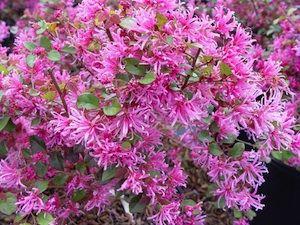 Le loropetalum de Chine est un arbuste au feuillage persistant. Sa floraison en fin d'hiver ou au début du printemps est très décorative. Conseils de culture et d'entretien.