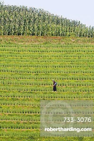 Farmer spraying rice crops for harvest at the Dragons Backbone rice terraces, Longsheng, Guangxi Province, China, Asia