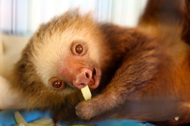 This joy. | Don't Be Sad, Look At These Baby Sloths Eating Vegetables
