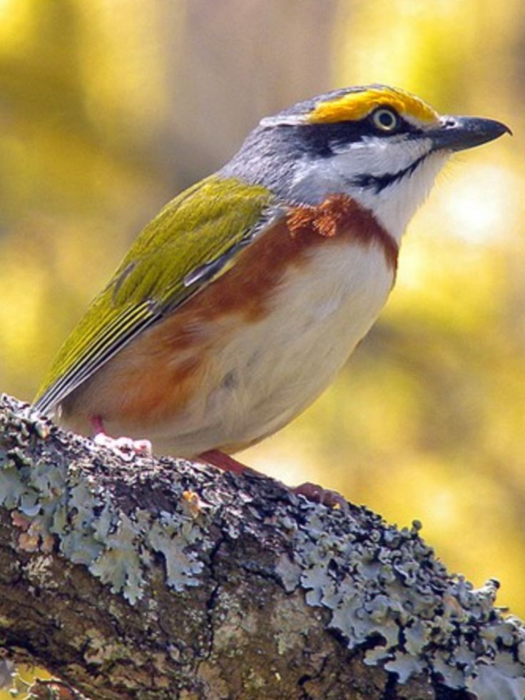 Chestnut-sided Shrike-vireo (Vireolanius melitophrys) is a species of bird in the family Vireonidae. It is found in Guatemala and Mexico. Its natural habitat is subtropical or tropical moist montane forests.