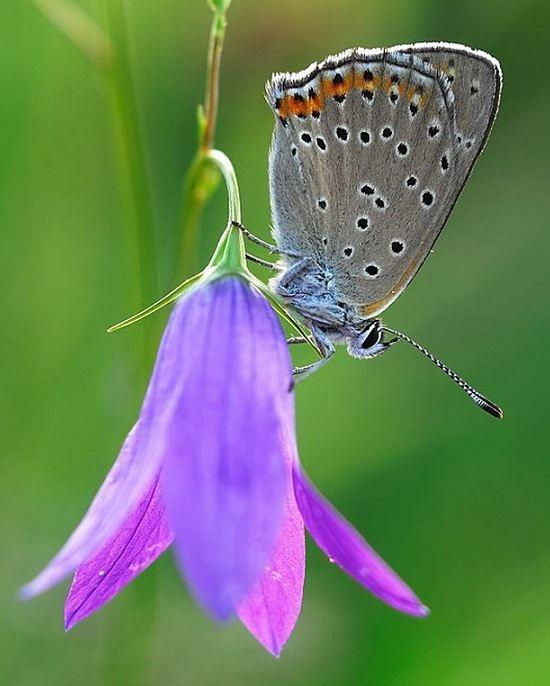 flor azul jardim secreto : flor azul jardim secreto:Flor e borboleta