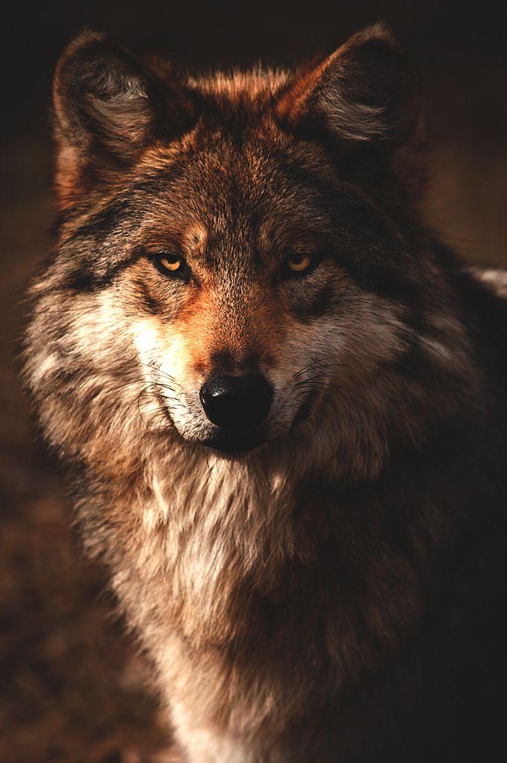 Самые красивые фотографии волков