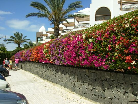How To Make A Bougainvillea Hedge - Google Search