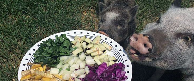 Proper Diet for Mini Pigs The proper care and feeding of your mini pig is