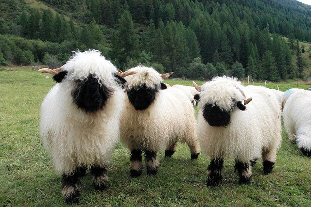 Valais Blacknose Sheep - I didn't know these guys even existed! I need to add them to my imaginary farm.