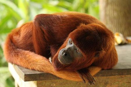 Mono aullador rojo o Alouatta sara,  boliviano o coto es una especie de mamífero primate de la familia Atelidae. Su distribución comprende el norte de Bolivia y el sureste de Perú. Habita en especial en selvas primarias. Se le ve en parejas y grupos. Normalmente paren una sola cría. Estos monos aulladores comen hojas jóvenes, capullos, flores, frutas, semillas, tallos, vástagos y ramas. Las hojas son la principal fuente de proteínas y las frutas de energía y proteínas.