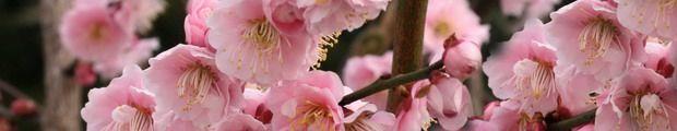 Prunus mume 'Florepleno'