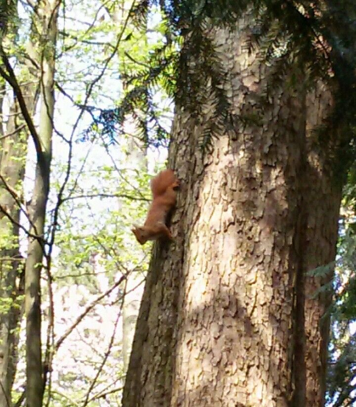 Red squirrel at Monza park.